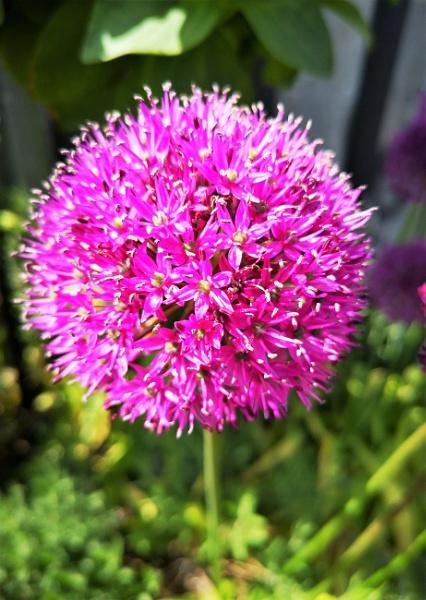 Allium by davyskid