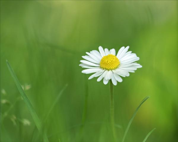 The isolated daisy by suemart