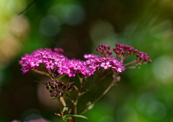 Autre fleur de mon jardin by MAHO30