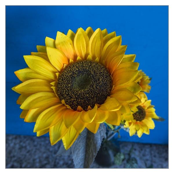 Sunflower by IainHamer