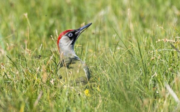 Green woodpecker by gerti62