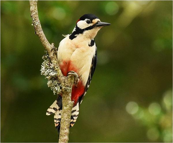 G S Woodpecker by MalcolmM
