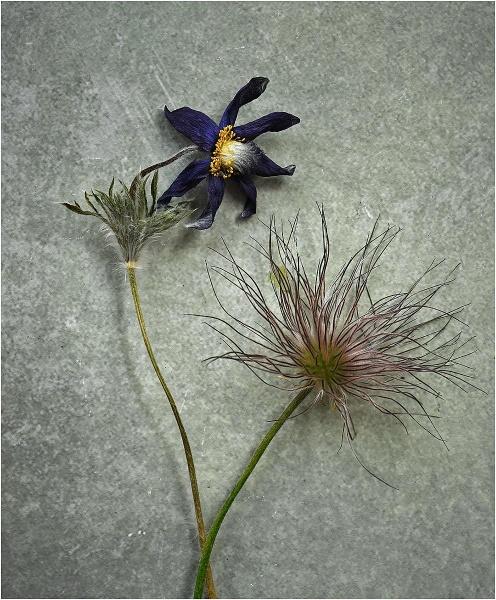 Pulsatilla Flower & Seedhead by MalcolmM
