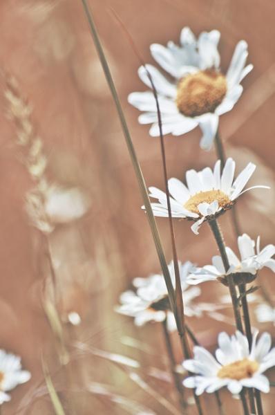 Daisys by icipix