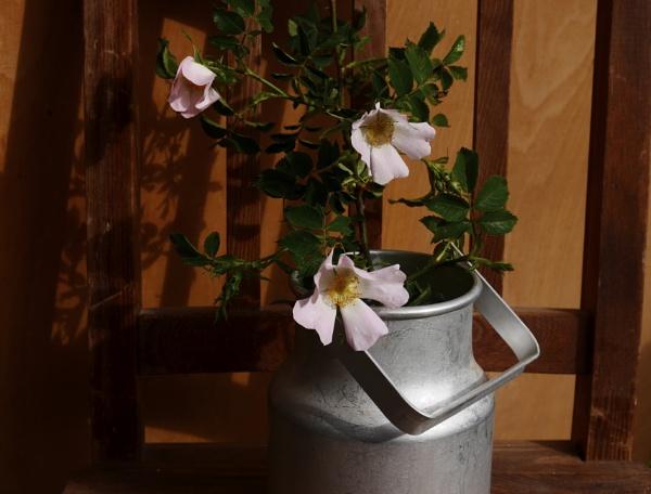wild roses by elousteve