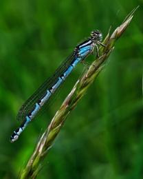 Photo : Southern Blue Male