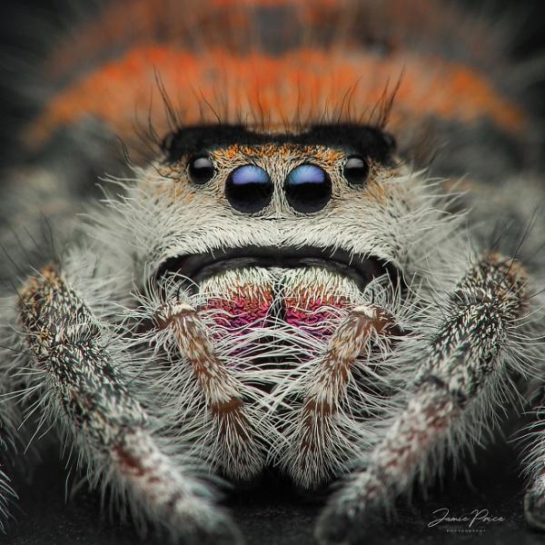 Phidippus regius jumping spider by Doogle1976