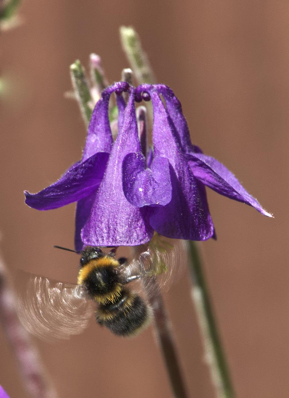 Pollinating Aquilegia