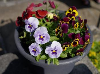 winter pansies in a tub