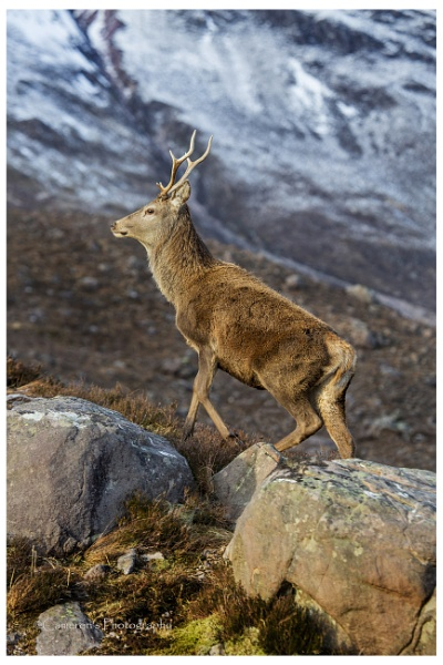Young Stag by Cammy