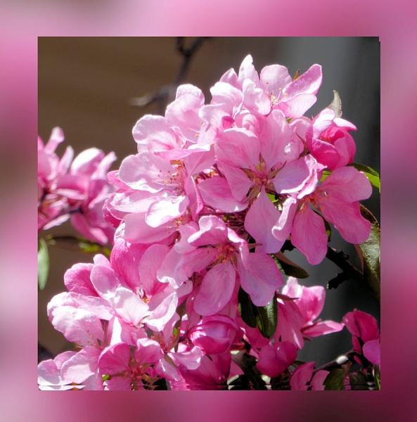 Spring Cherries by Joline