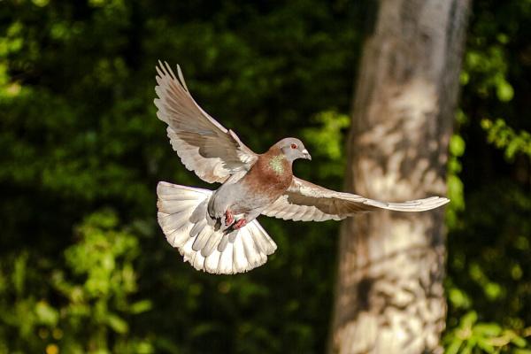 Morning Pigeon by chensuriashi