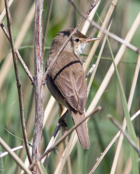 Reed warbler by oldgreyheron