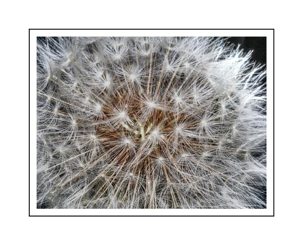 Dandelion Seed Head by Phillbri