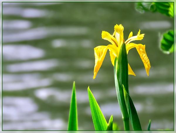 Wild Iris by Sylviwhalley