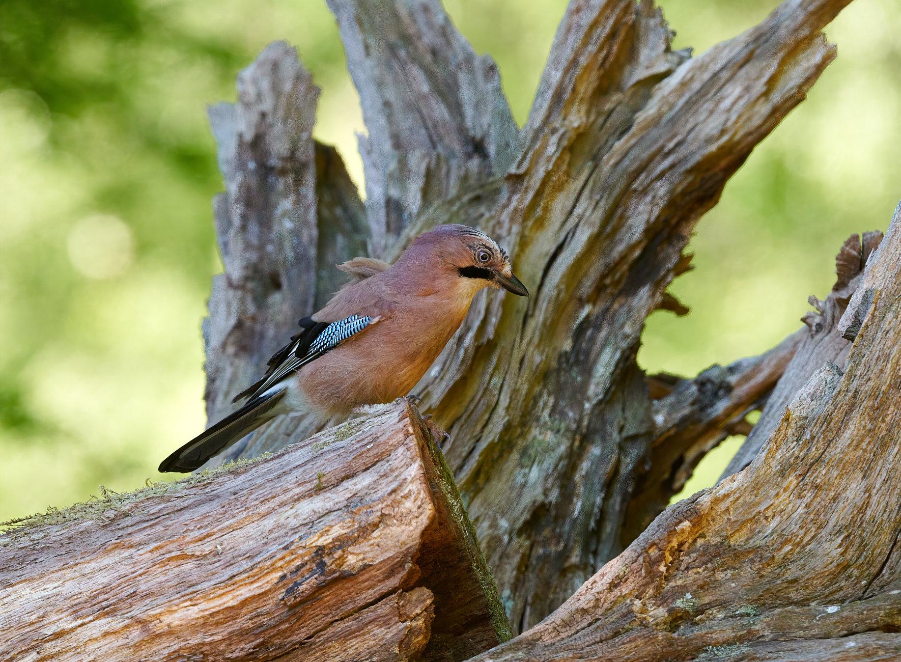 (Eurasian) Jay