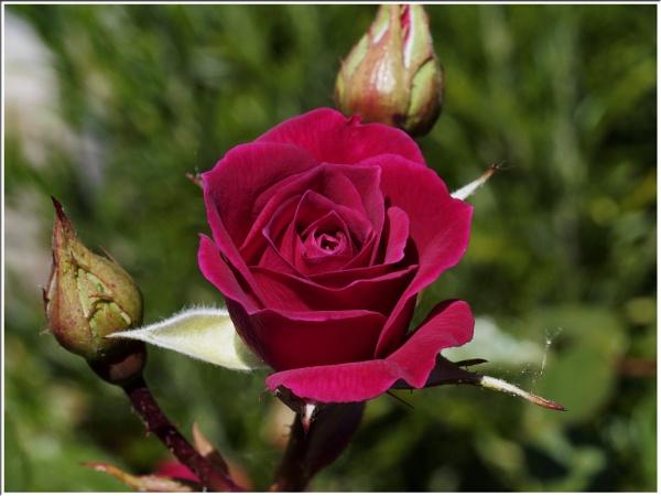 "\"" Gloriana Climbing Rose \"" by badgerwil70"