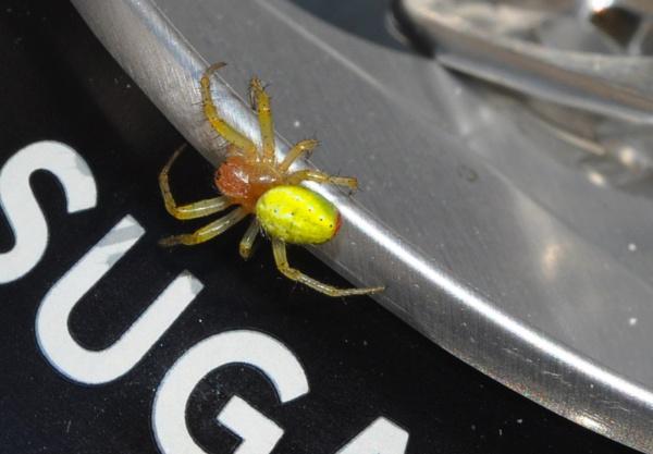 Green Orb Weaver Spider by davten