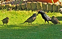 Starlings being fed and bathed before bedtime.