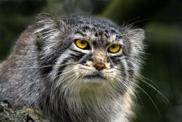 Wei-Shan. Pallas Cat.