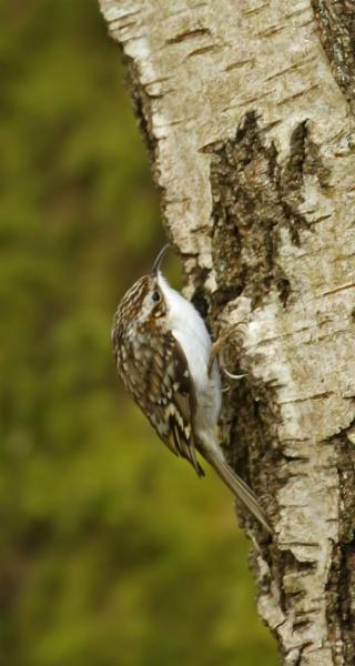Treecreeper by J_Caswell