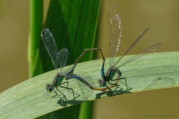 Blue-tailed Damselflies by Alan_Baseley