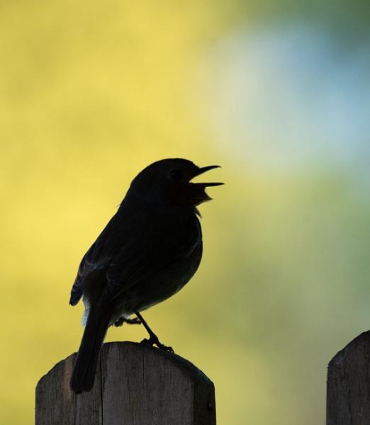 Robin Silhouette by jasonrwl