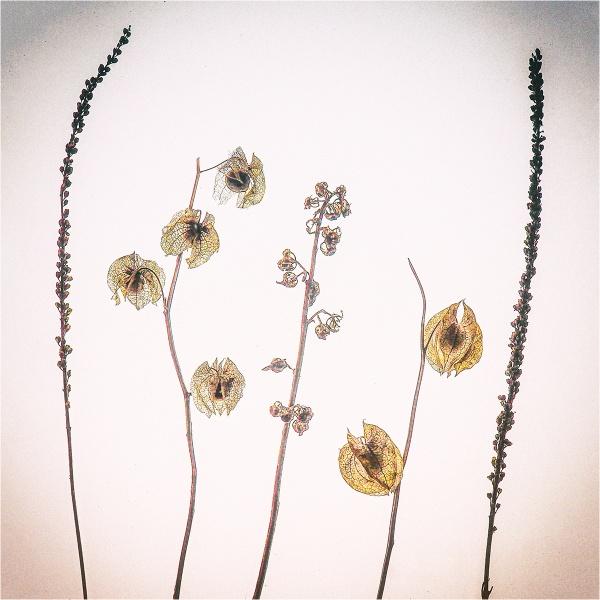 seed heads by judidicks