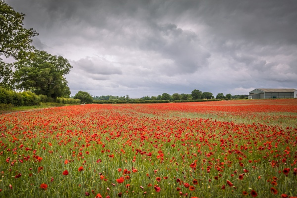 Field Of Red by Scooby10