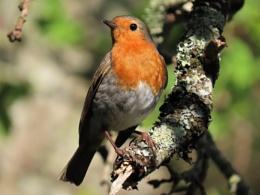 June Evening Robin