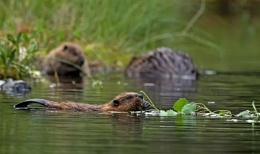 Family of Beavers