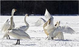 Whooper Swans fighting
