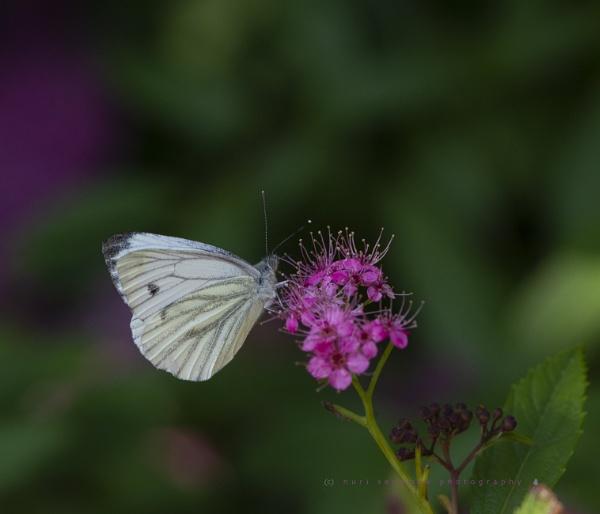 green veined white by senn
