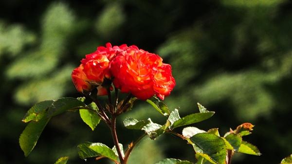 ROSES. by kojack
