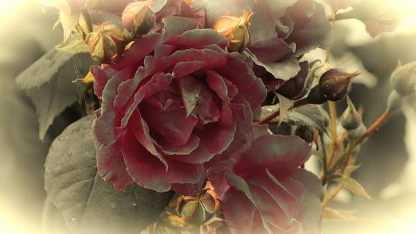 ROSE. by kojack