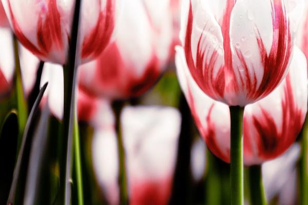 Tulip Head by manicam