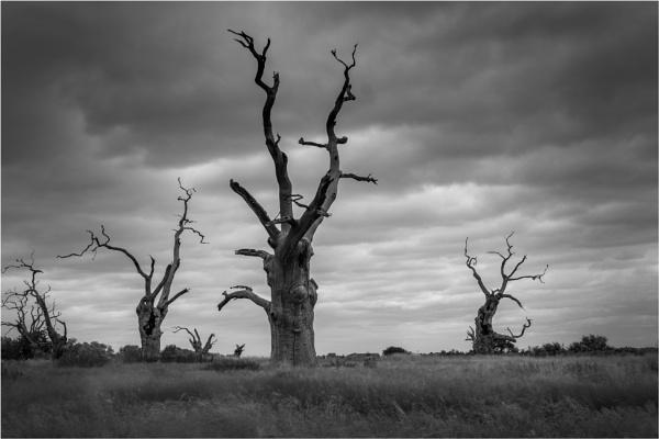 Mundon Oaks by clive burrow