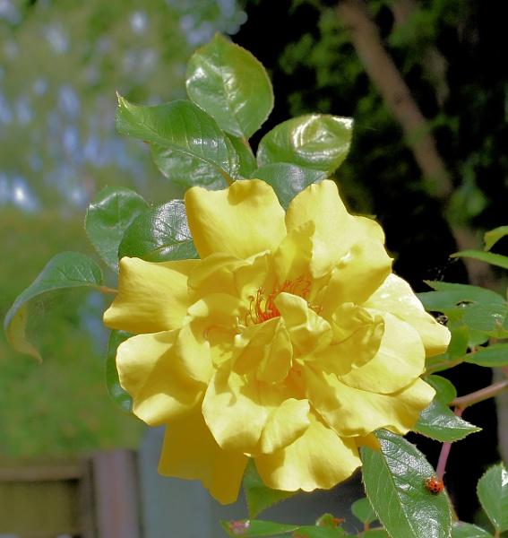 Back Garden Rose by DaveHoskins