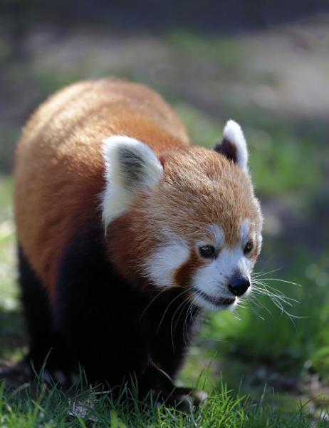 Red panda by Steveo28