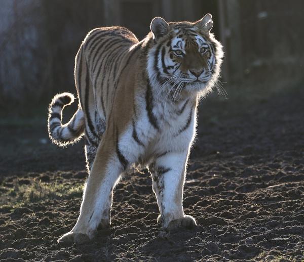 Tiger by Steveo28