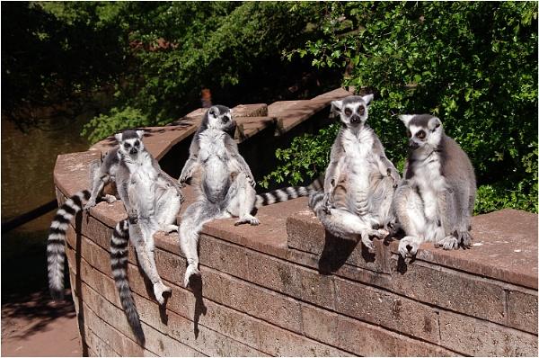 Laid Back Lemurs by johnriley1uk