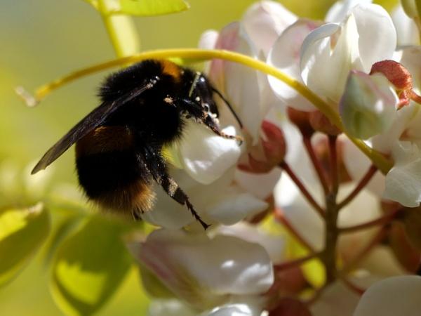 Bee by DerekHollis