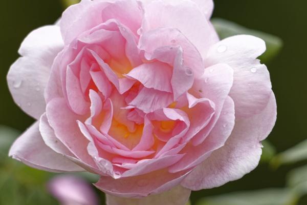 rose by retroman