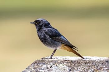 Black Redstart (Phoenicurus ochruros) male