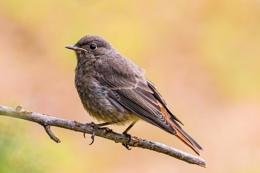 Young Redstart