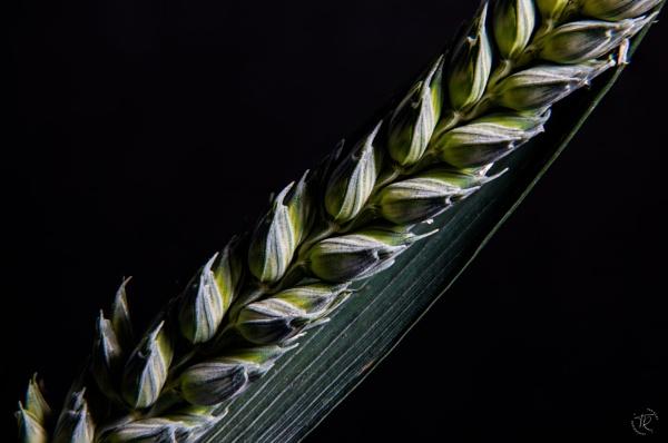 Barley by tomriley