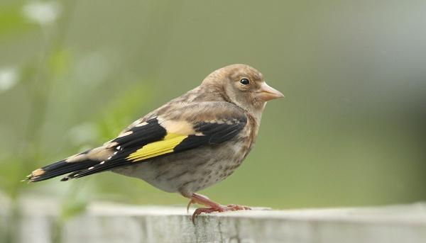 Goldfinch-Juvenile by bobpaige1