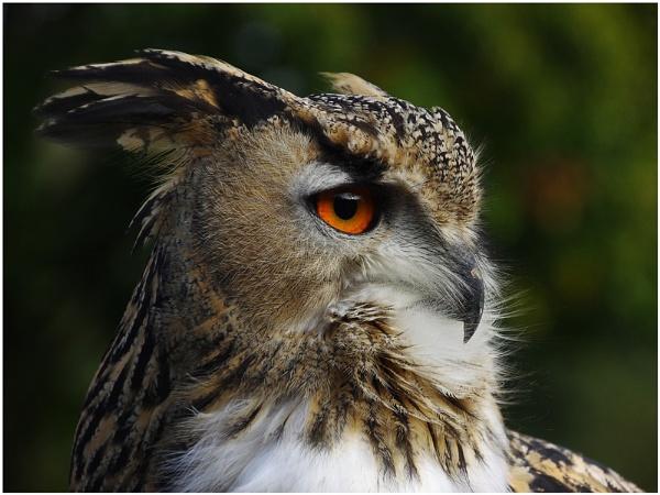 Owl by sueriley