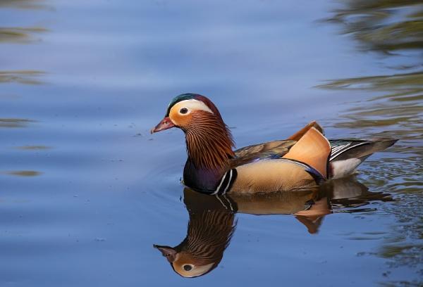 Mandarin Duck by Les_Cornwell