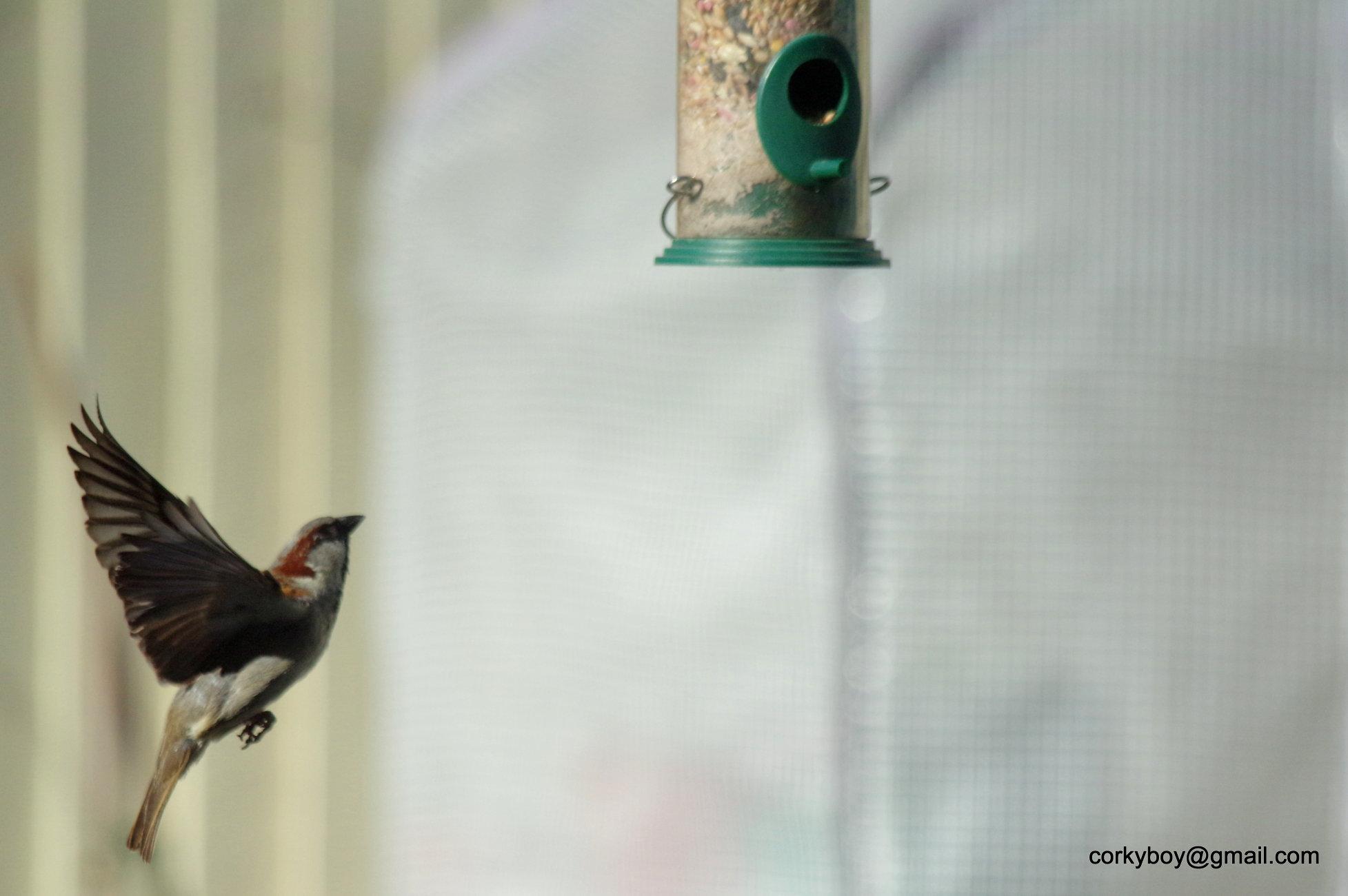 Sparrow ascending